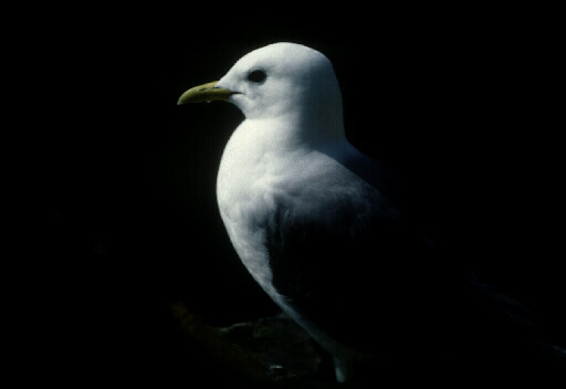 Kittiwake Bird